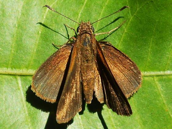 Skipper - Cymaenes tripunctus - female