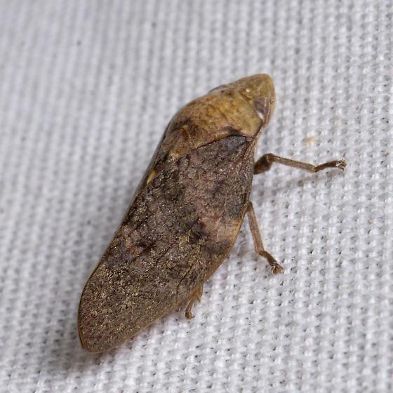 Cephisus variolosus