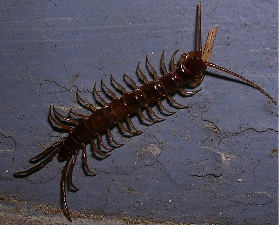 Brown Centipede of some type! - Lithobius forficatus