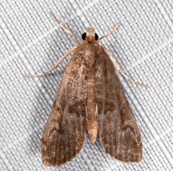 Elophila - Elophila gyralis