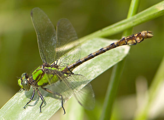 Rusty Snaketail - Ophiogomphus rupinsulensis - male