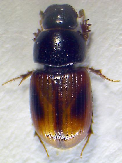 Aphodius - Phaeaphodius rectus