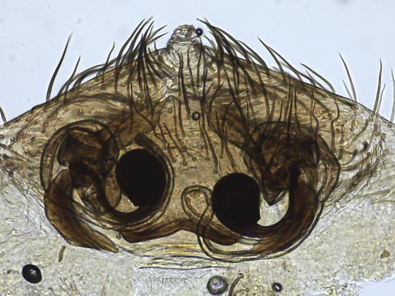 Hyptiotes gertschi of Olympia - Hyptiotes gertschi - female