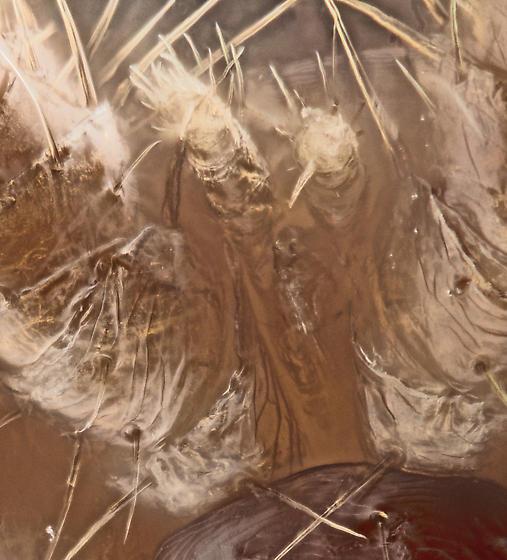 Mite, ventral-lateral head - Varroa destructor - female