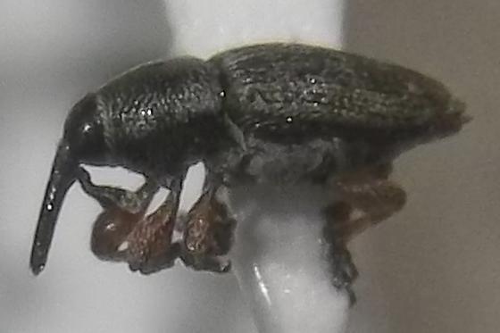 Smicronyx rhodopus Dietz - Smicronyx rhodopus - female
