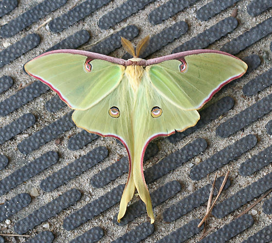 Luna Moth, a large green moth - Actias luna - male