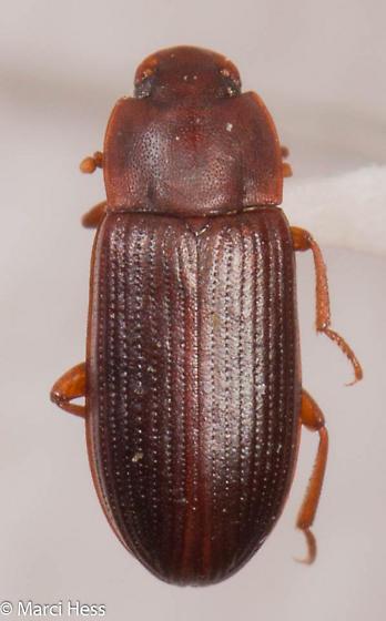 Cynaeus angustus
