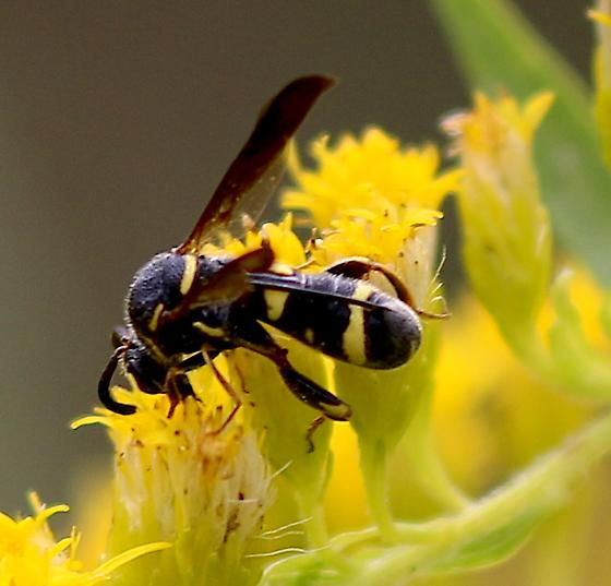 ichneumon wasp - Leucospis affinis
