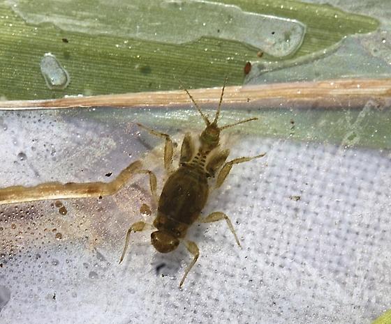 Tricorythodes