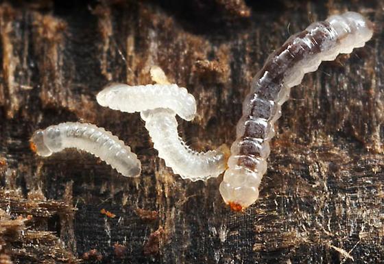 Micromalthus debilis  - Micromalthus debilis