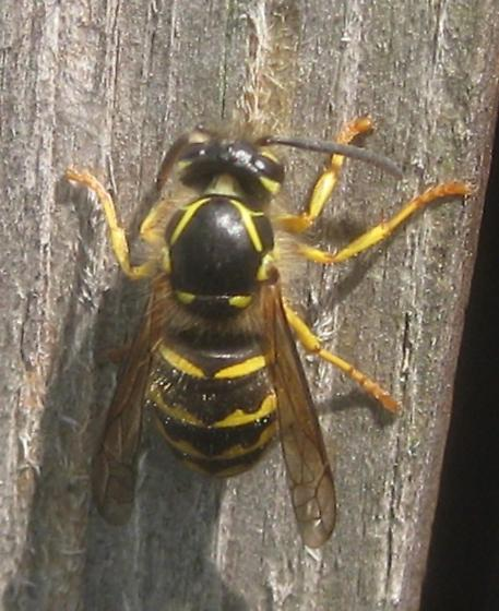 Is this a yellow jacket? - Dolichovespula arenaria