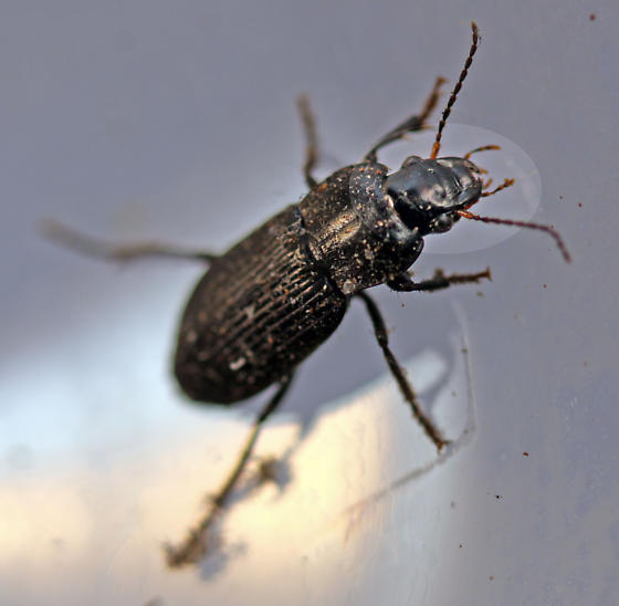 Ground Beetle - Anisodactylus nigrita