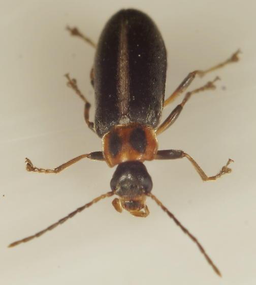 Unknown Beetle - Osphya varians