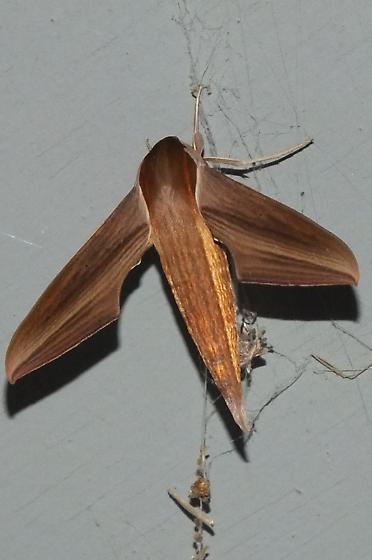 Sphinx Moth - Xylophanes tersa