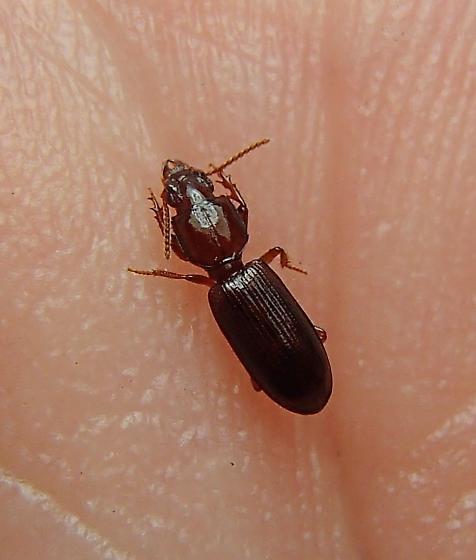 Carabidae - Clivina pallida