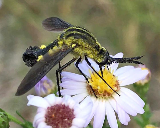 fly on flower - Lepidophora