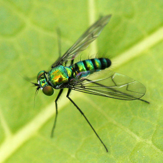 Green-blue Long-legged Fly - Condylostylus - male