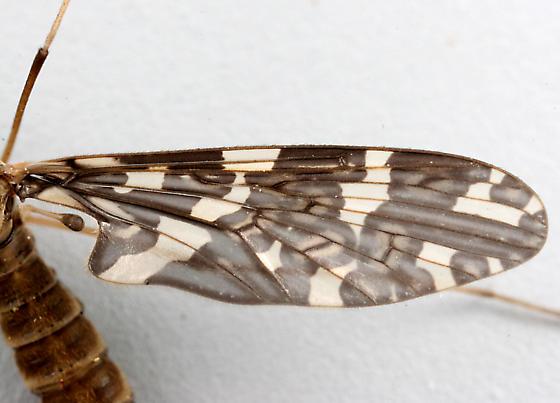 BG663 Fly - Protoplasa fitchii - female