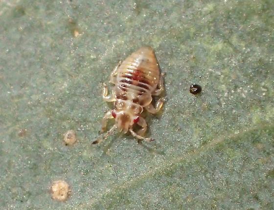 Thaumastocoris peregrinus (nymph) - Thaumastocoris peregrinus