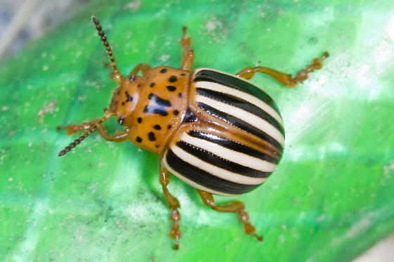 i believe false potatoe beetle - Leptinotarsa juncta