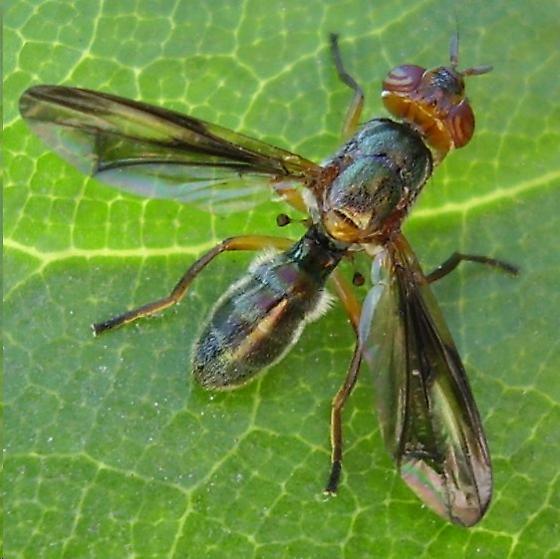 Fly - Senopterina varia