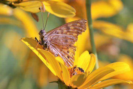 Butterfly - Asterocampa clyton