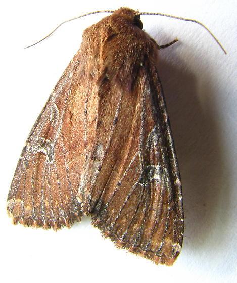 Brown Moth - Apamea scoparia
