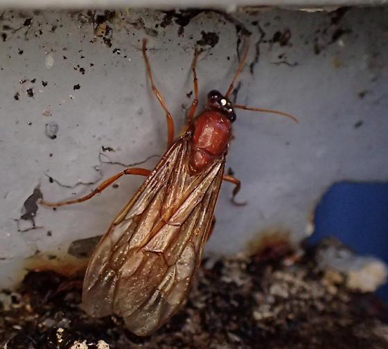Neivamyrmex sp - Labidus coecus