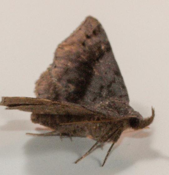 Moth to porch light  - Spargaloma sexpunctata