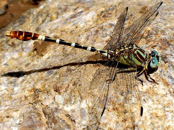 Erpetogomphus sp. - Erpetogomphus lampropeltis - male