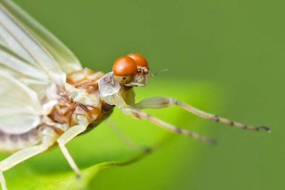 spiny crawler mayfly - Ephemerella - male