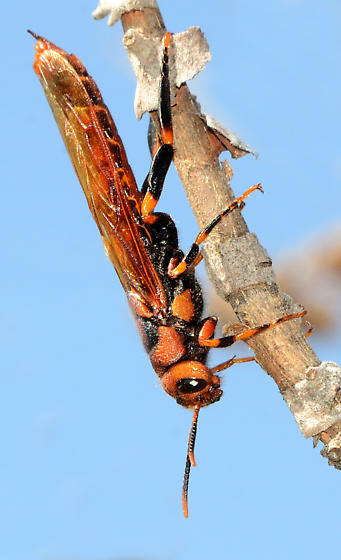 grasshopper mimic wasp - Tremex columba - male