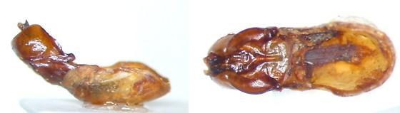 Phyllophaga futilis - male