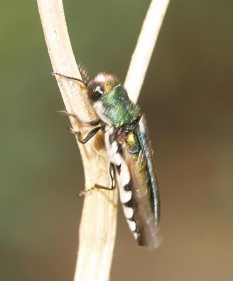 Agrilus - Agrilus pulchellus