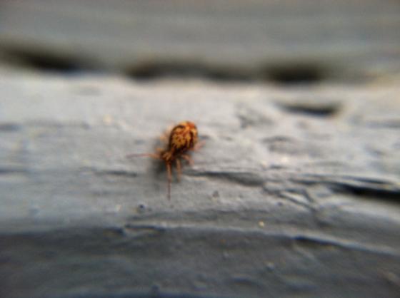 beetle? - Ptenothrix