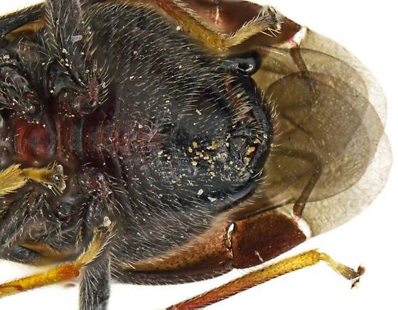 Male, Yucca Plant Bug? - Halticotoma - male