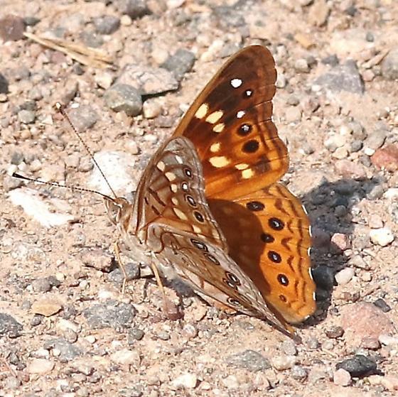 butterfly, emperor sp ? - Asterocampa leilia