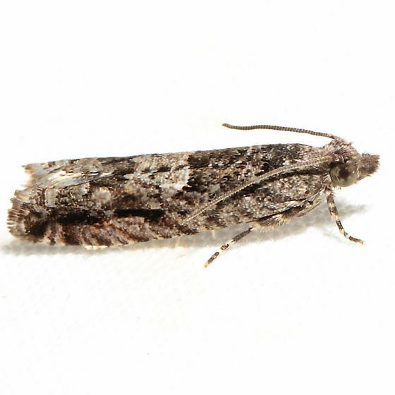 Chimoptesis gerulae - male