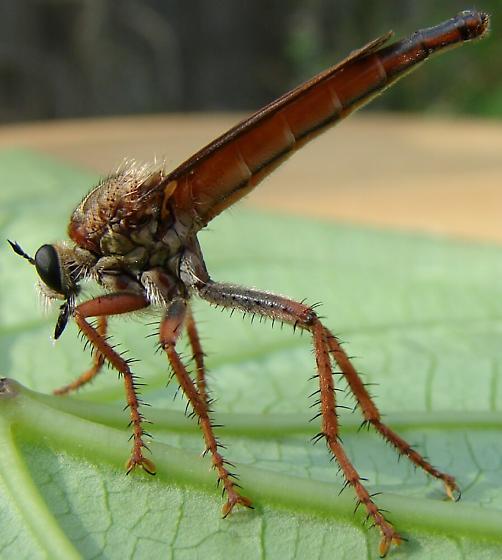 Robber fly - Scleropogon subulatus