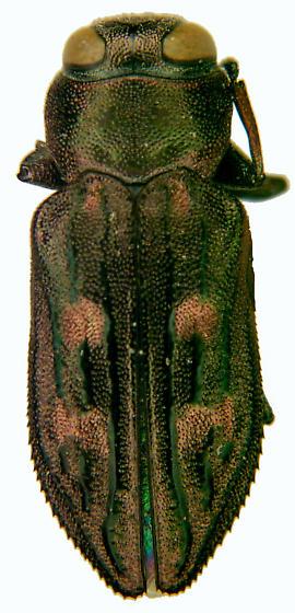 Chrysobothris rossi VanDyke - Chrysobothris rossi - female