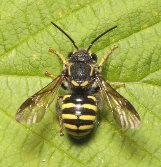 Megachiliadae, dorsal - Paranthidium jugatorium