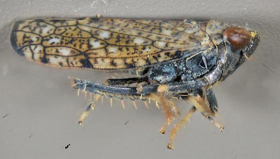 net-veined leafhopper - Orientus ishidae