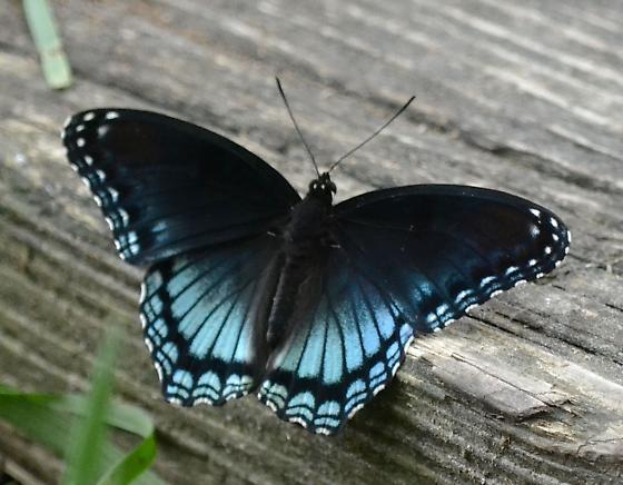 So MD butterfly - Limenitis arthemis