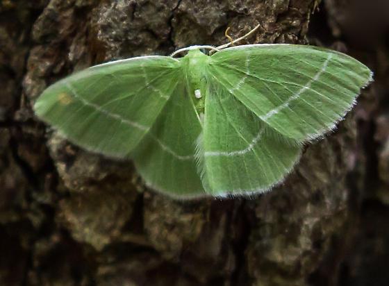 Red-fronted Emerald moth - Nemoria mimosaria - male
