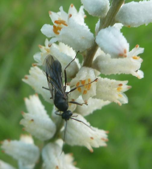 possible braconid wasp - Formica