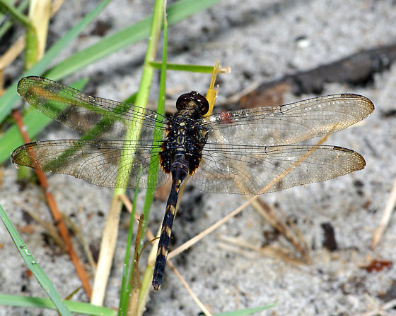 Red eyed dragonfly - Erythemis plebeja