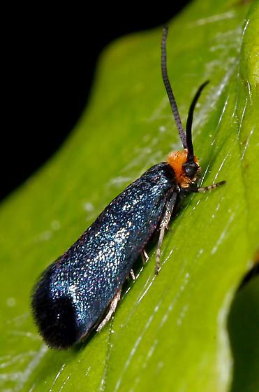 MOTH? - Paraclemensia acerifoliella