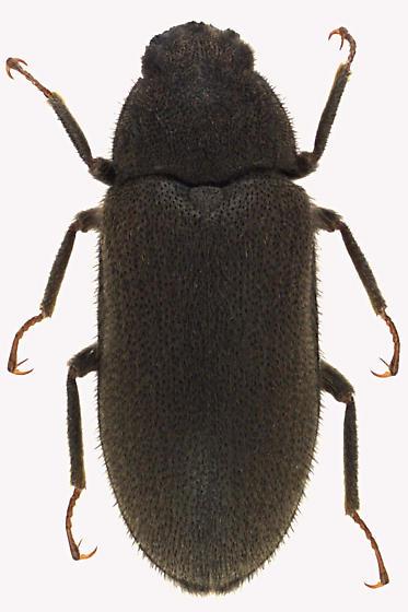 Long-toed Water Beetle - Dryops viennensis