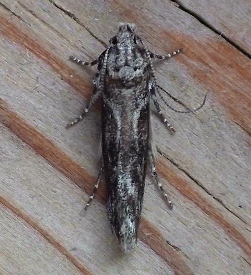 Gelechiidae: Unknown Specimen - Gnorimoschema