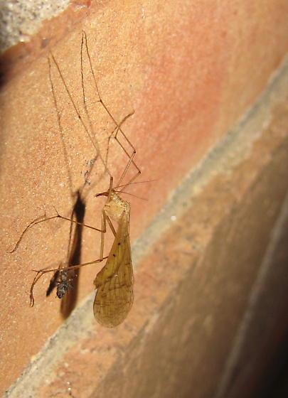 Hangingfly - Bittacus stigmaterus